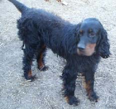 Gordon Setter Rescue Ohio Royal Setters